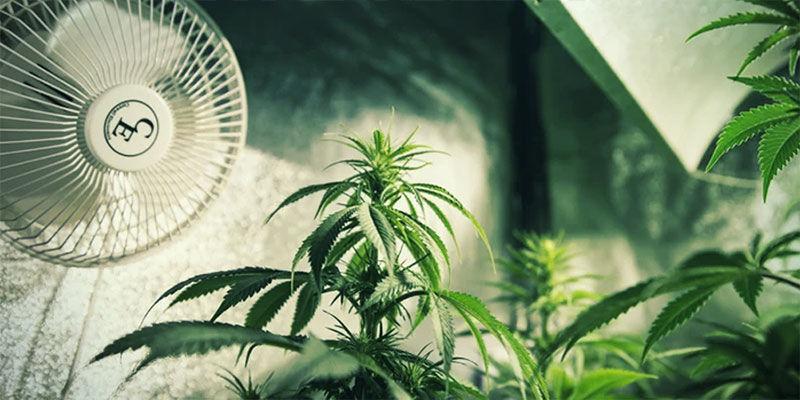 Wie Du Die Blütephase Von Cannabispflanzen Mithilfe Von Lichtentzug Kontrollierst: Sorge für ausreichende Belüftung