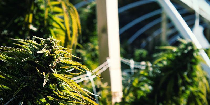 Wie man die Blütephase von Cannabispflanzen mithilfe von Lichtentzug kontrollieren kann: Outdoor