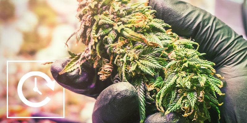 Wie Du Die Blütephase Von Cannabispflanzen Mithilfe Von Lichtentzug Kontrollierst: Vor- und Nachteile von Lichtentzug