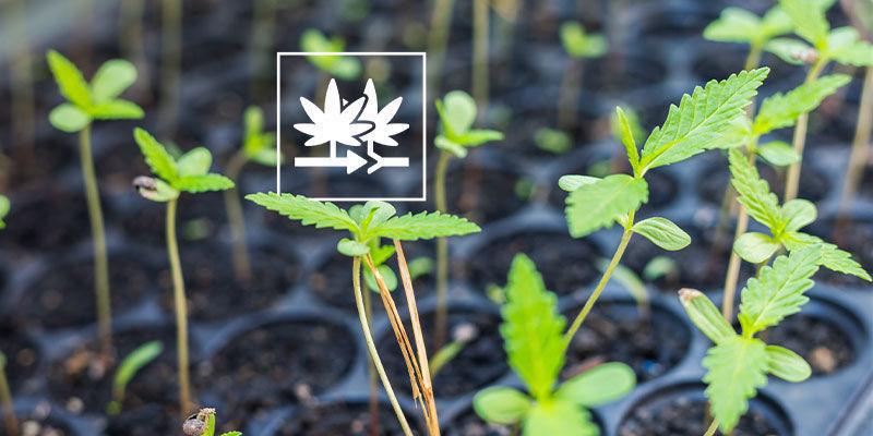 Warum sollte man reguläre Cannabissamen anbauen?