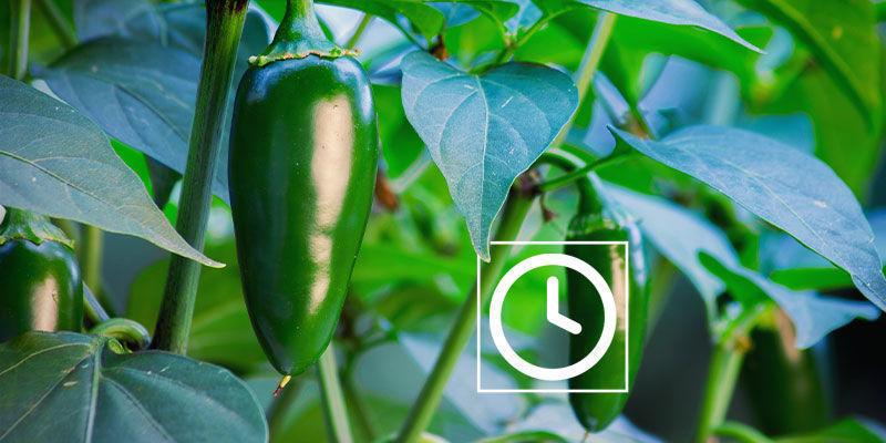 Wie Lange Brauchen Jalapeño-pflanzen Zum Wachsen?