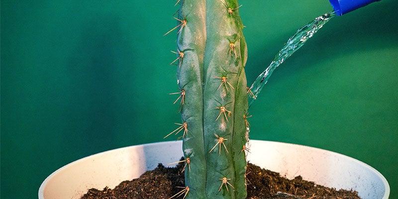 Die Pflege Von Echinopsis Zamnesiana