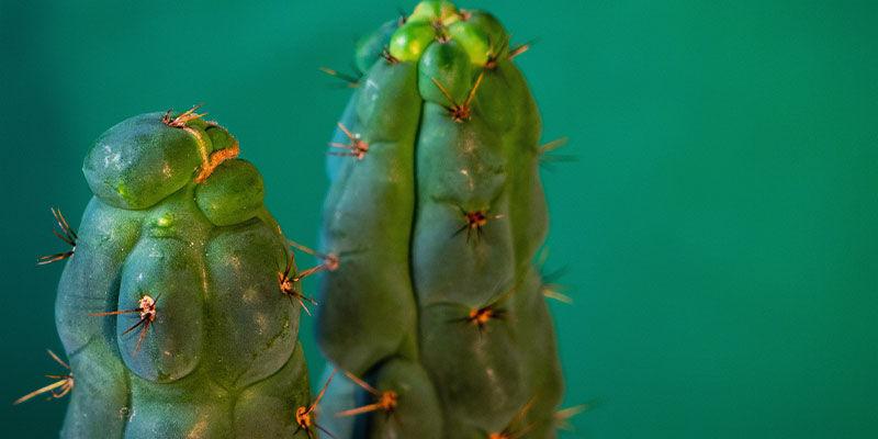 Was Ist Echinopsis Zamnesiana?