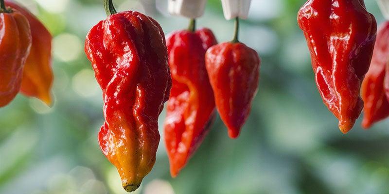 Schärfsten Chilis: 7 Pot Barrackpore