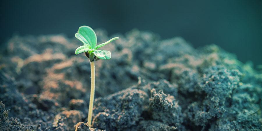 Autoflowering Sorten produzieren sehr schnell Ergebnisse