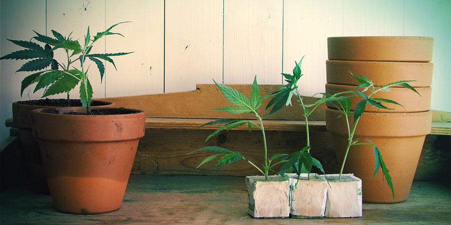 Autoflowering Sorten sind für drinnen und draußen geeignet
