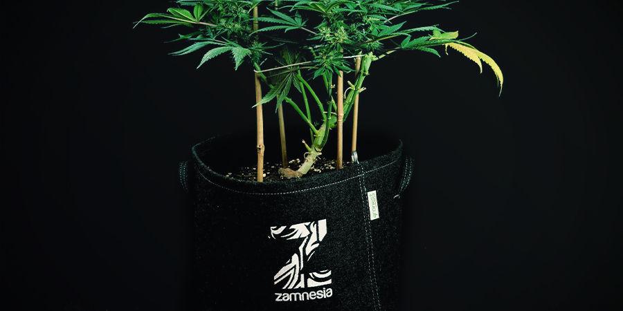 Autoflowering Pflanzen müssen nicht umgetopft werden