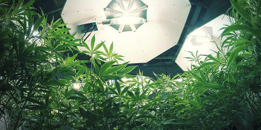 Hochdruck-Entladungslampen - Cannabispflanzen