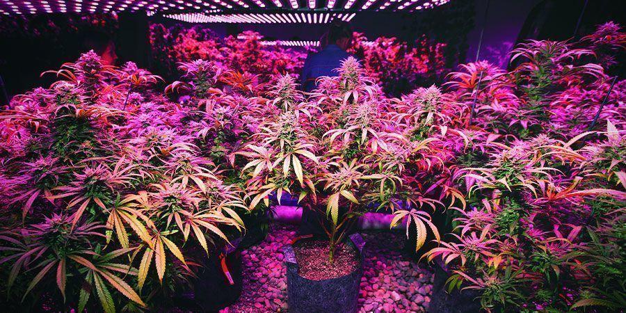 LED-Lampen - Cannabispflanzen