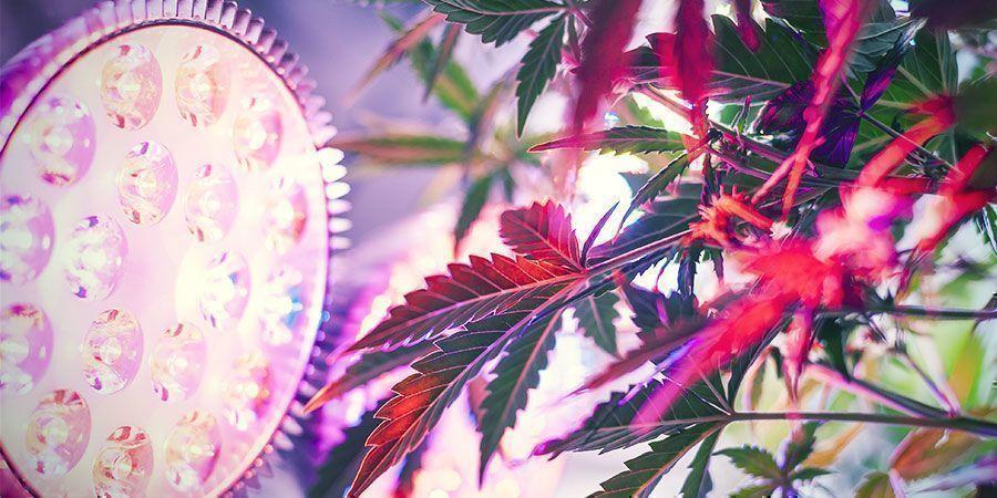 Warum Ist Der Richtige Lampenabstand Wichtig? Cannabispflanzen