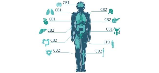 Cannabis Rezeptoren