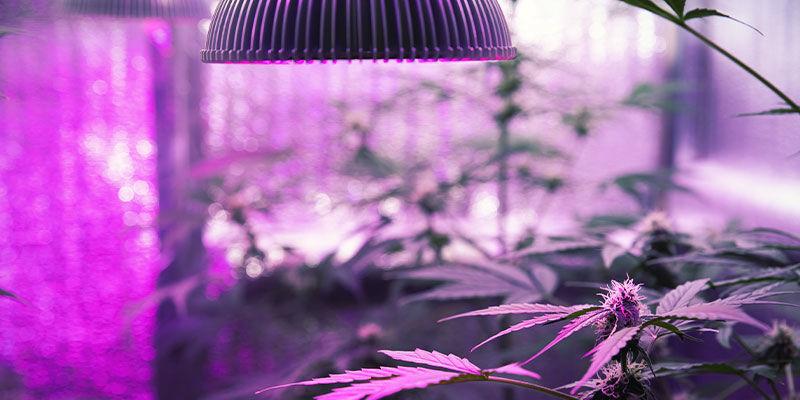 Wie Man Cannabispflanzen UZ-licht Gibt