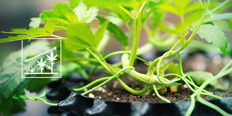 Cannabis und Kaliumsilikat: Besseres Wachstum