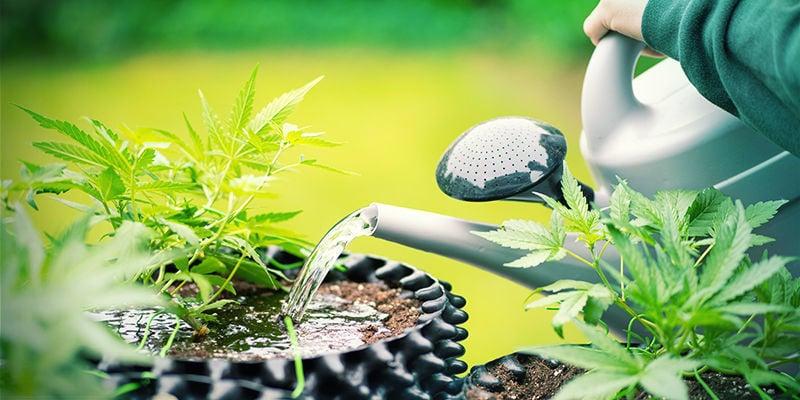 Cannabispflanzen Überdosis Kaliumsilikat