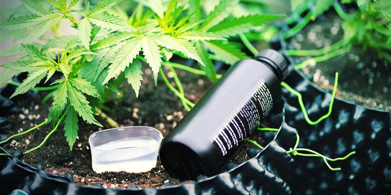 Mega-Cannabisblüten: Was ist Kaliumsilikat?