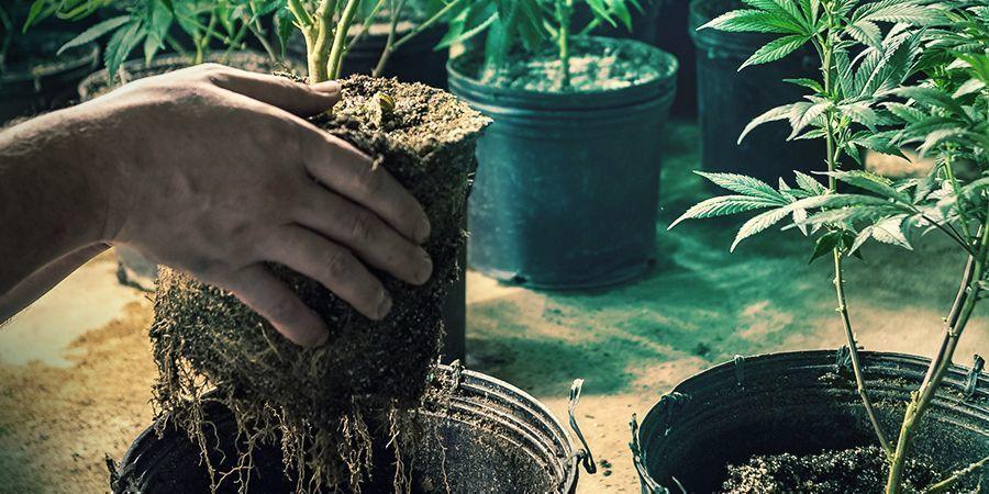 Beim Umpflanzen beschädigte Wurzeln
