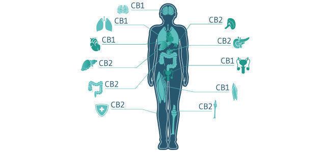 Wie Interagiert CBD Mit Dem Endocannabinoid-System?