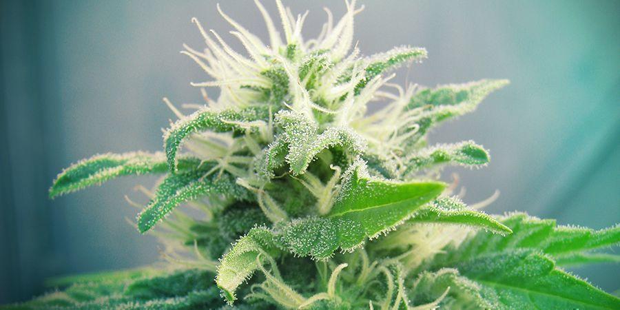 Jack Herer Cannabis Sorte