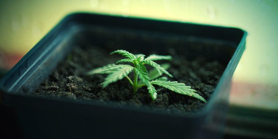 Cannabis In Topf