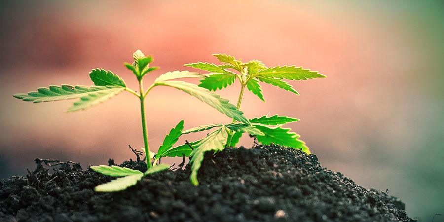 Cannabis Anbauen Im Boden
