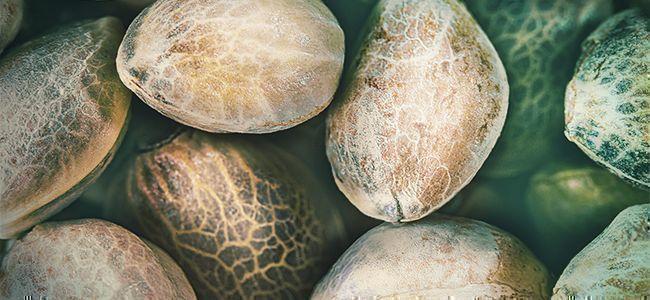 Besseres Weed: Hochwertige Samen