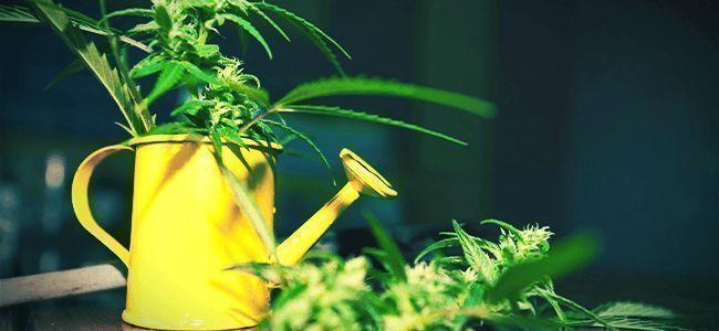 Bessere Weed: Maßhalten ist der Schlüssel