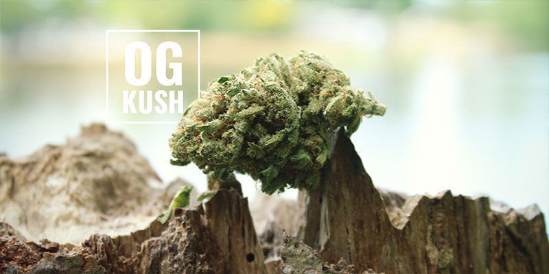 OG Kush Cannabis: Was Bedeutet OG?