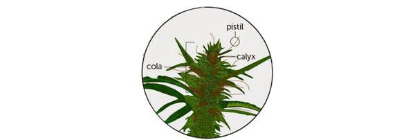 Anatomie von Cannabis