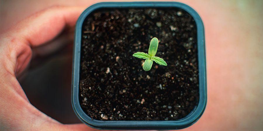 Ungeduld Bei Der Keimung Der Samen