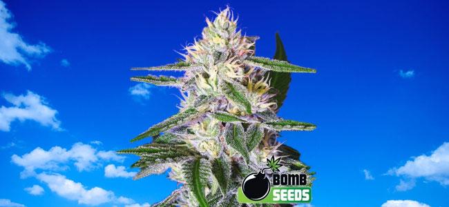Edam Bomb Bomb Seeds