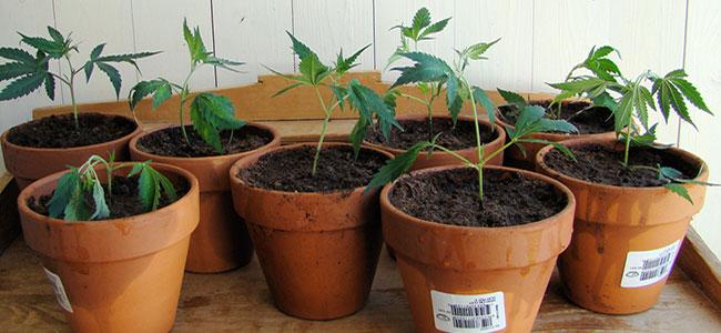 Cannabispflanzung