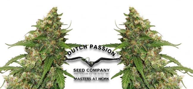 CBD Auto Compasison Lime Dutch Passion