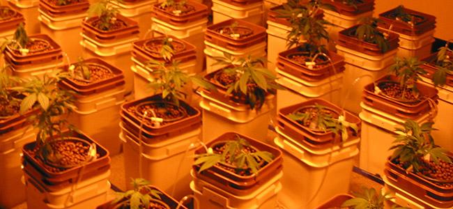 Hydro Cannabis anbau