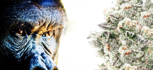 Gorilla Glue Cannabis