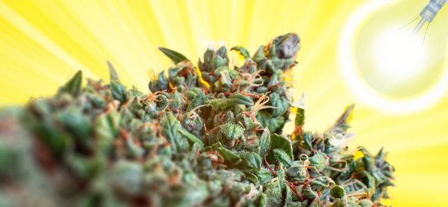 Beleuchtung Und Cannabis Pflanzen