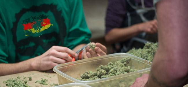 Deutschland Cannabis Erntehelfer