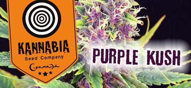 Kannabia Purple Kush
