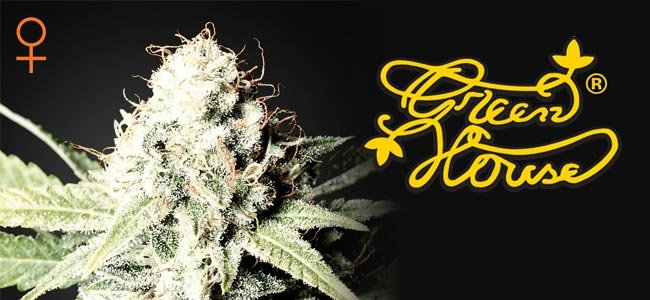 Great White Shark Greenhouse Seeds
