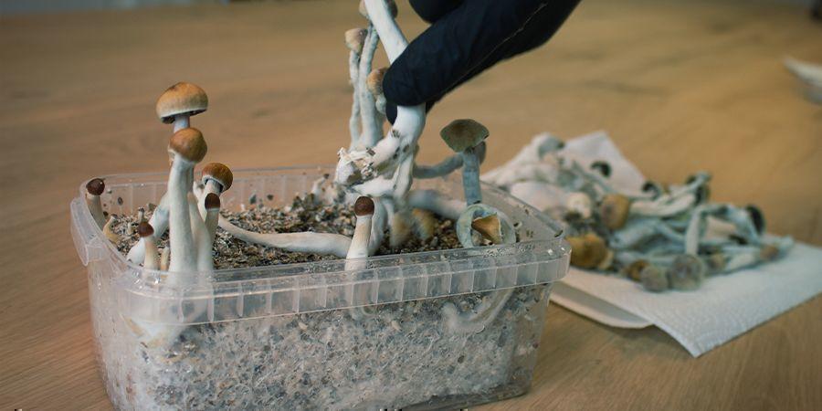 Wie Man Mit Zuchtsets Für Magic Mushrooms Steril Arbeitet