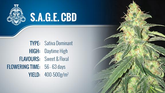 S.A.G.E. CBD (T.H. Seeds) Fem.