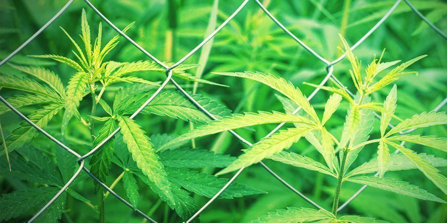 Die Anbaufläche von Cannabis Auswählen