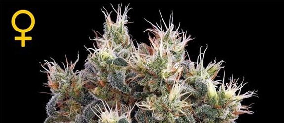 THE CHURCH – GREENHOUSE SEEDS