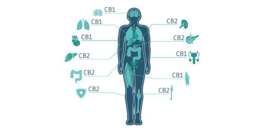 Wie Interagieren Cannabinoide Mit Dem ECS?