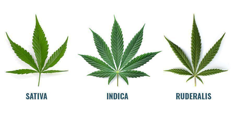Woher Stammen Cannabinoide?