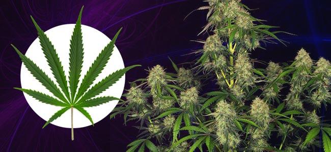 Wie Man Eine Sativa-pflanze Erkennt