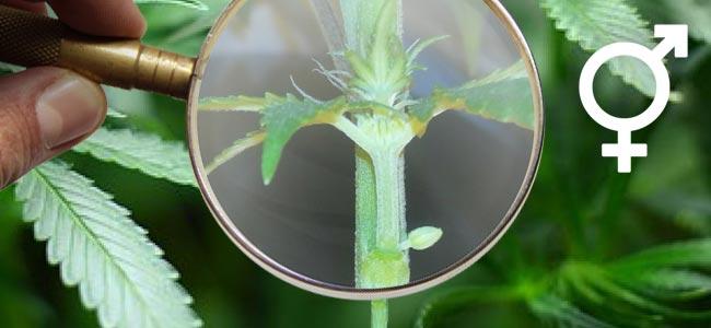 Hermaphrodite Cannabispflanzen