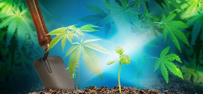 Die Wachstumsphase Beim Cannabisanbau