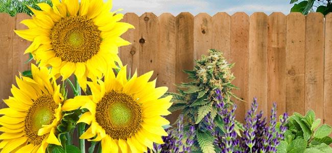 Tarnung Mit Begleitpflanzen