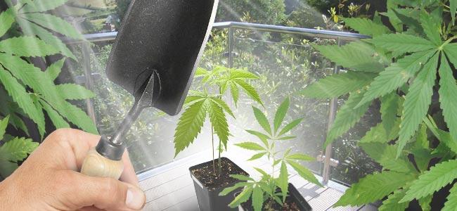Cannabis Auf Deinem Balkon Oder Deiner Terrasse Anbauen