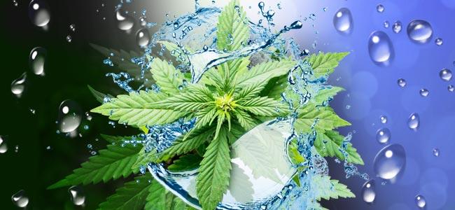 Wann Und Wie Du Deine Cannabispflanzen Spülen Solltest